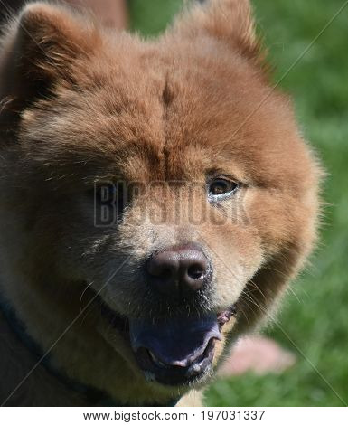 Cute Little Chow Puppy Tired from Playing in a Field
