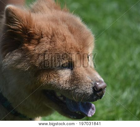 Stunning Little Chow Puppy with a Long Tongue