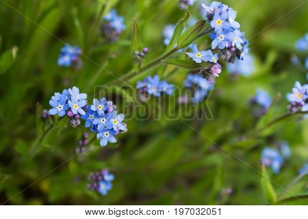 Beautiful soft blue forget-me-not flowers on a blurred background. Macro. Selective focus