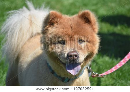 Adorable Little Chow Puppy Tired from Playing