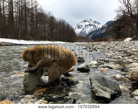 Japanese macaques in the Kamikochi National Park are looking for food in the river under the stone