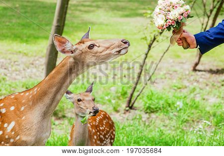 young deer in the forest in summer want to eat wedding bouquet