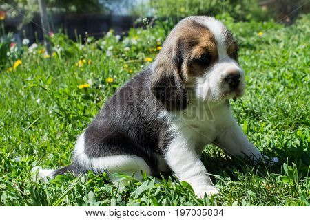 Small sad puppy of a beagle sitting in the grass on a sunny day close-up