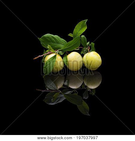 Branch with leaves and three green plums on black isolated with real reflection