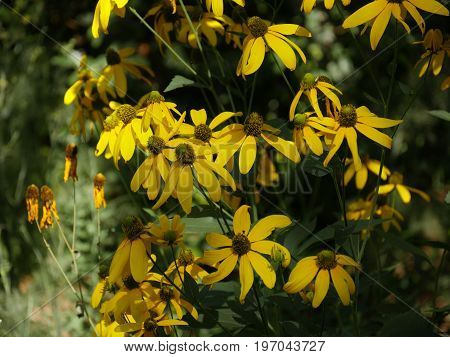 Medium wide shot of Black-eyed susan flowers in a garden