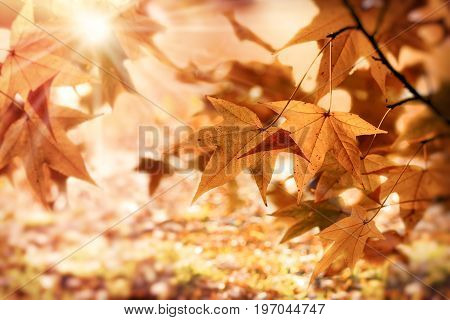 Autumn foliage - leaves lit by sun rays (sunbeams) beautiful nature in autumn