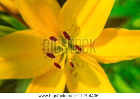 Yellow Lily flower closeup. Pistil, stamen and pollen. Macro.