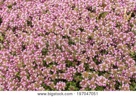 Background of a ground cover plant with small pink flowers. Thyme creeping