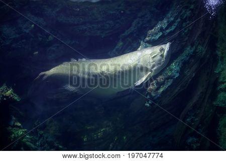 Silver arowana (Osteoglossum bicirrhosum). Freshwater tropical fish.