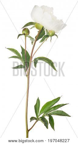 light peony flower with green leaves isolated on white background