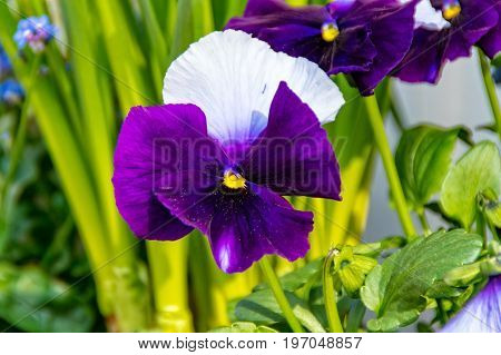 The Pansy flower in the flower box