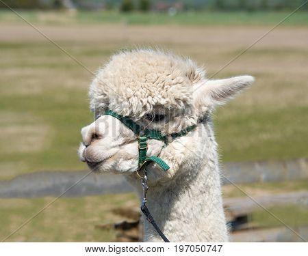 Alpaca With A Harness