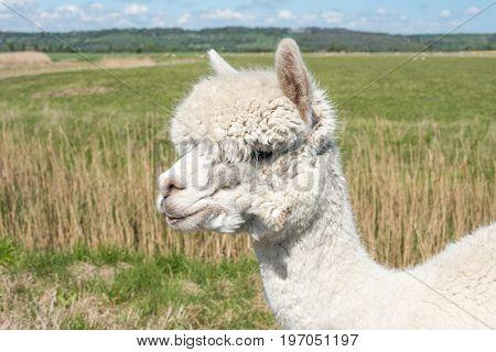 White Alpaca Head