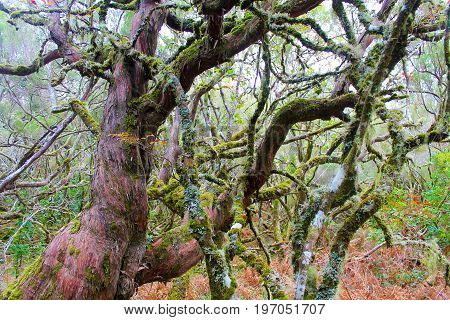 Mossy trees and branches in Madeira forest