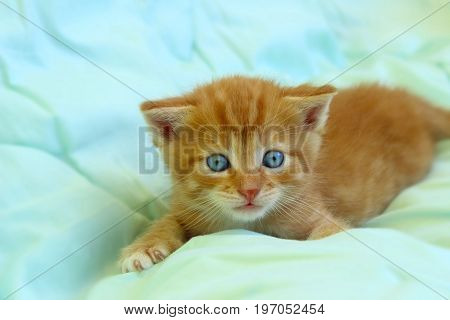 Cute little red kitten lying down on a bed. Cat on the bed.