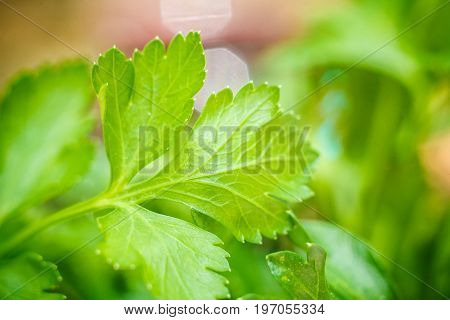 Parsley. Petroselinum. parsley leaves. Green leaves. Parsley growing in the garden. Close-up. Field. Farm. Agriculture Growing herbs Horizontal