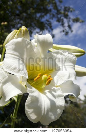 White lilies bloom against the sky in summer garden
