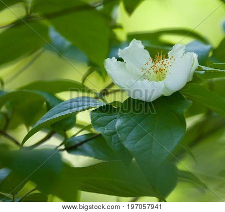 Mountain Camellia (Stewartia ovata) white flower blooming in the woods