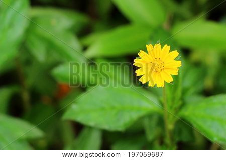 Singapore daisy flower beautiful in the nature with copy space