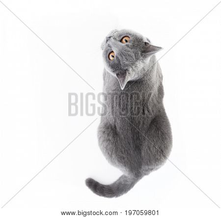British Shorthair cat isolated on white. Lying, top view