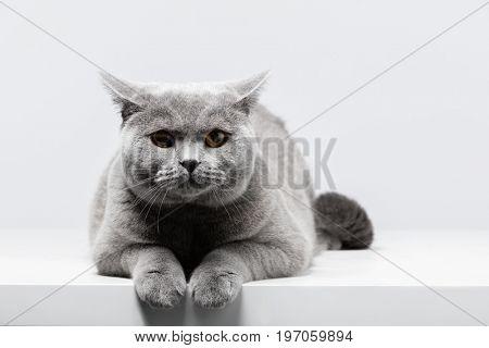 British Shorthair cat lying on white table. Copy-space. Dark shadows