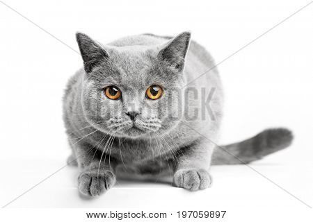 British Shorthair cat isolated on white. Sneaking, hunting