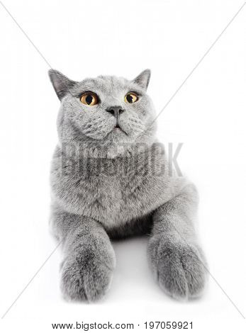 British Shorthair cat isolated on white. Lying, wide angle