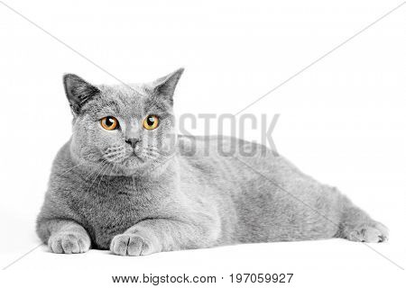 British Shorthair cat isolated on white. Lying relaxed