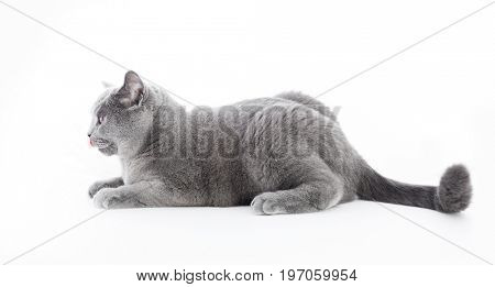 British Shorthair cat isolated on white. Ready to jump, wide angle