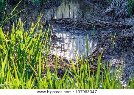 A little puddle in the forest with white surface with green grass blades on the foreground. Half of the puddle is in the shadow half is in the sun.