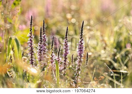 Purple loosestrife (Lythrum salicaria) at sunrise .