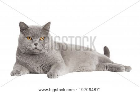 British Short Haired Cat Isolated
