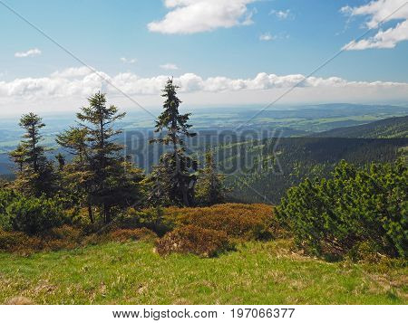 Scrube Pine Tree And Spruce And Hills Mountain View In Jeseniky