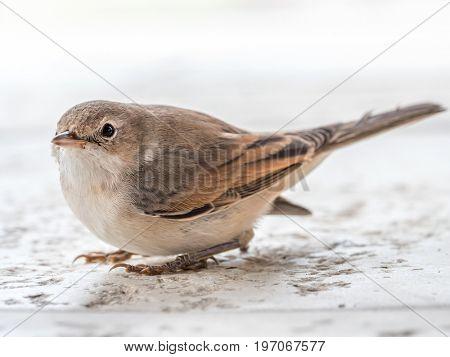 Blyth's reed warbler sitting on white stone