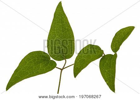 Green leafs of clematis isolated on white background