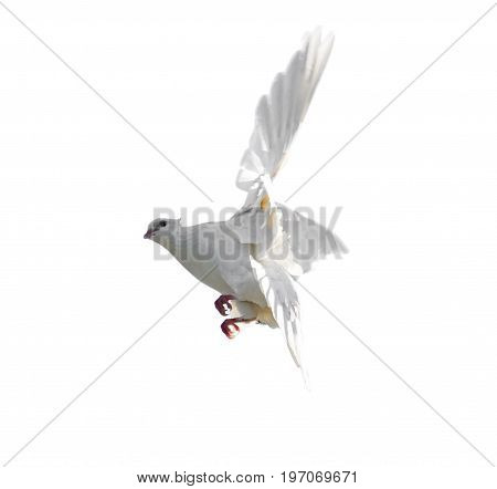 White dove in flight isolated on white background .