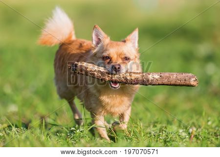 Chihuahua With A Stick In The Snout