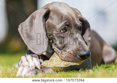 Great Dane Puppy Chews At A Pig's Ear