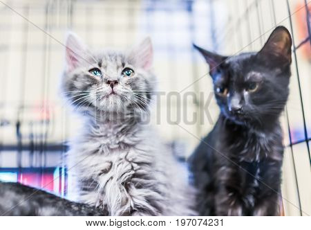 Portrait Of One Grey And White Russian Blue Tabby Tiny Kitten In Cage Waiting For Adoption