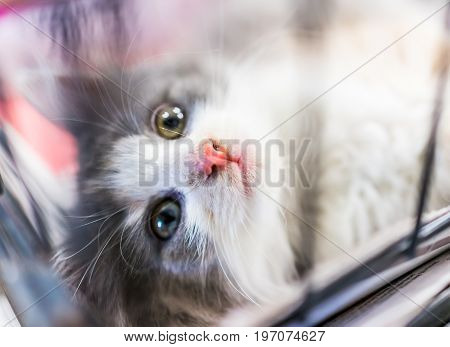 Portrait Of One Grey And White Calico Kitten Playing In Cage Waiting For Adoption