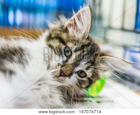 Portrait Of One Tabby And White Kitten Playing With On Newspaper Waiting For Adoption