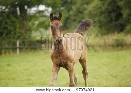 Young Holsteiner Foal