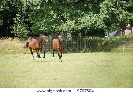 Yearlings Gallop On Pasture