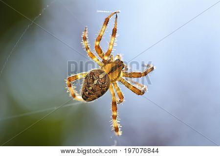 Macro of big cross spider (Araneus diadematus) resting in web head over heels in garden