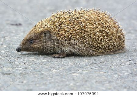 Cute Hedgehog Trying To Pass Through The Street.