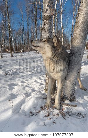 Grey Wolf (Canis lupus) Looks Up to Left - captive animal