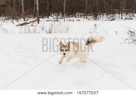Red Marble Fox (Vulpes vulpes) Bounces Forward - captive animal