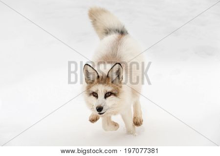 Red Marble Fox (Vulpes vulpes) Runs Forward - captive animal