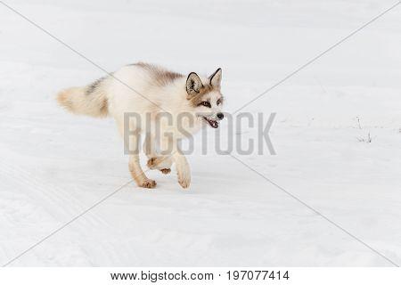 Red Marble Fox (Vulpes vulpes) Runs Right - captive animal