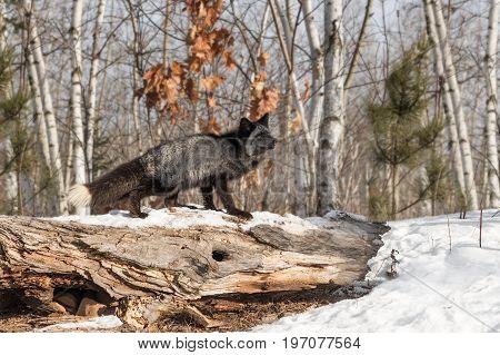 Silver Fox (Vulpes vulpes) Looks Up Atop Log - captive animal